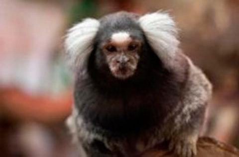 ALPA - Los monos titíes respetan el turno de palabra - ALPA - Asociación de Logopedas del Principado de Asturias